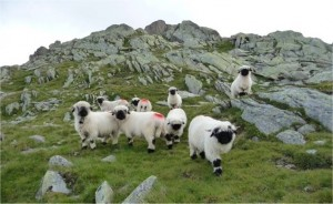 qlmb moutons
